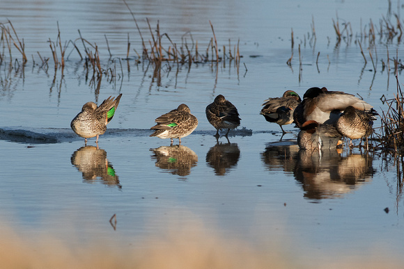 Green Wing Teals (and friends)